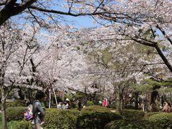 kenrokuensakura1.jpg