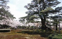 kenrokuensakura2.jpg